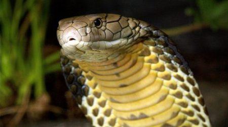 Nằm mơ thấy rắn hổ mang báo điềm gì? tốt hay xấu?