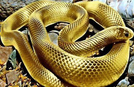 Giải mã giấc mơ thấy rắn vàng