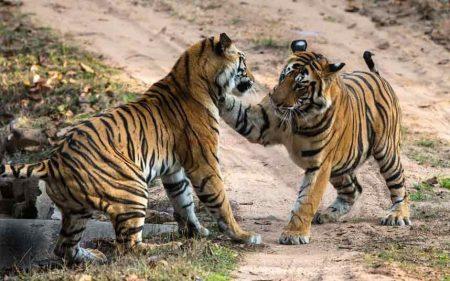 Khi nằm mơ thấy Hổ bạn đừng quá lo lắng. Bởi có rất nhiều giấc mơ liên quan đến hổ mang đến nhiều điềm báo tốt lành và may mắn.
