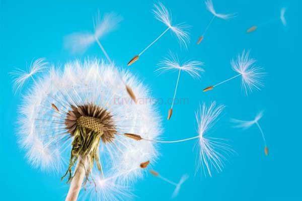Mơ thấy hoa bồ công anh có ý nghĩa gì, tốt hay xấu?